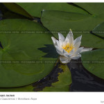 № 5815960: Белая водная лилия