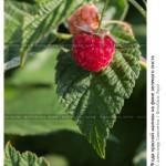 № 5809133: Ягода красной малины на фоне зеленого листа