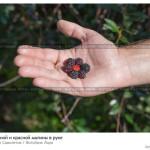 № 5836070: Ягоды черной и красной малины в руке
